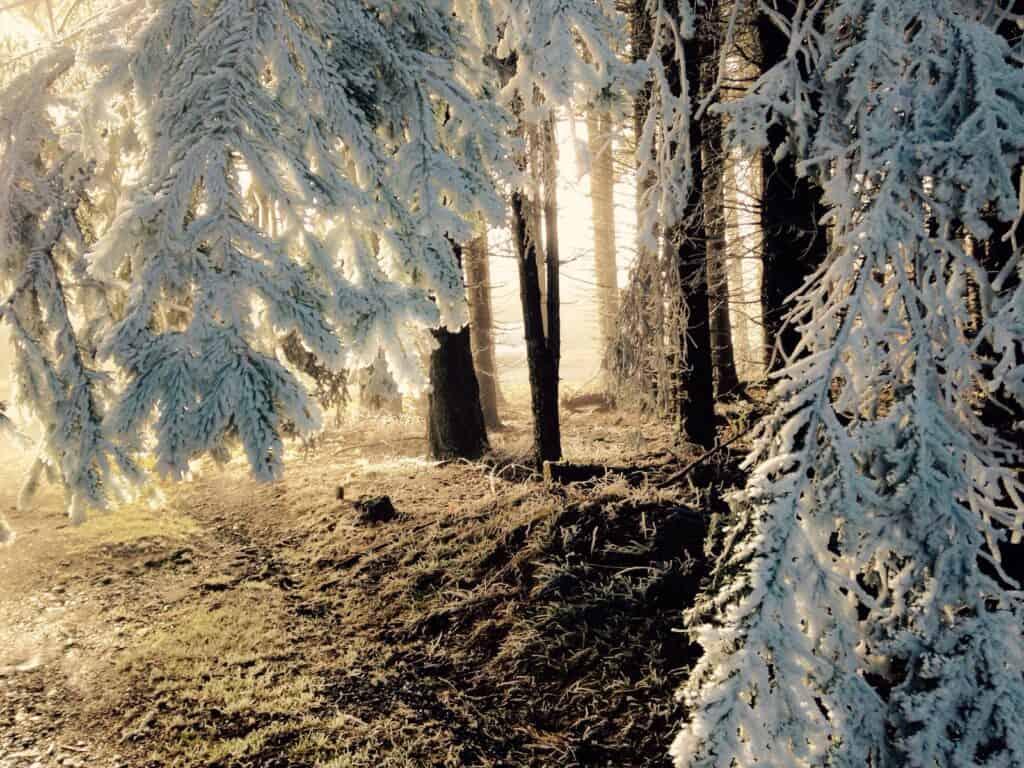 forêt de pin gelé retraite yoga nouvel an